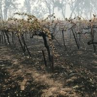 Few vines were actually burned like these during the 2017 Wine Country Wildfires, but many grapes on the vine and in fermenting tanks were exposed to smoke.