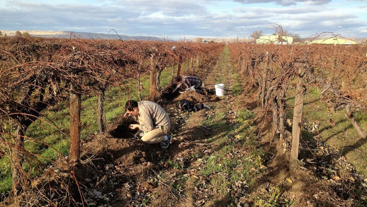 Washington Winemakers Devise Battle Plan for Phylloxera in Vineyards
