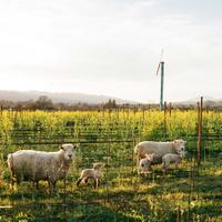 Rudd vineyard with sheep