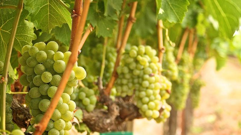 White grapes on vine