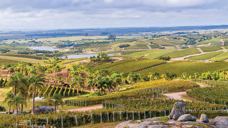 Uruguay Stakes a Claim With Tannat
