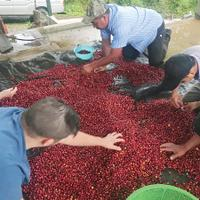 Sorting coffee beans at Finca Esperanza
