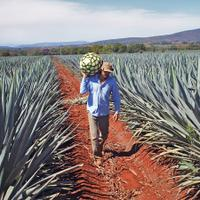 A shortage of agave plants in Mexico is forcing tequila producers to adapt.