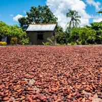 Cacao beans drying in Madagascar, to be turned into chocolate by American company Madécasse.